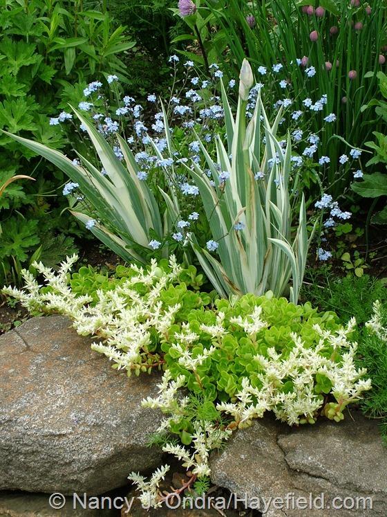 White-variegated sweet flag iris (Iris pallida 'Argentea Variegata') with forget-me-nots (Myosotis sylvatica) and woodland sedum (Sedum ternatum) at Hayefield.com