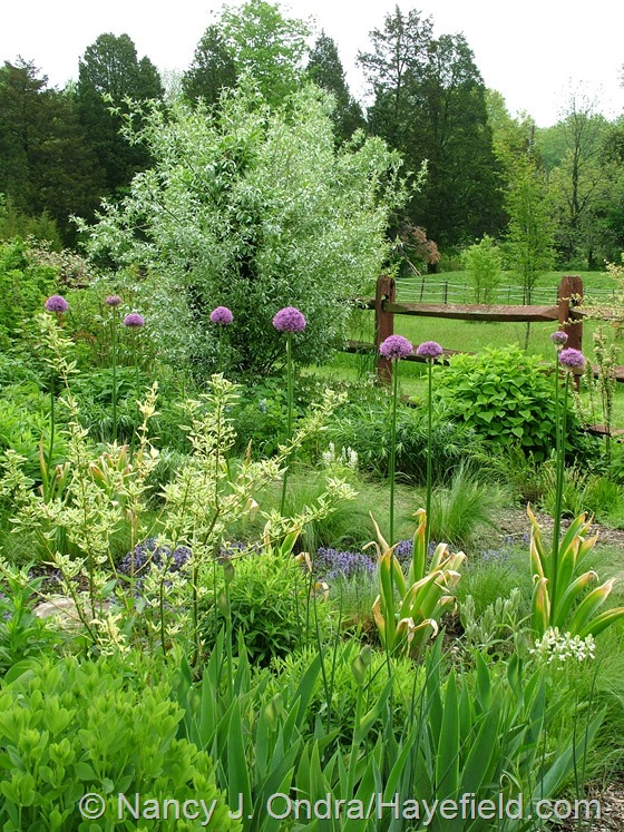Salix alba var. sericea and alliums in side garden at Hayefield.com