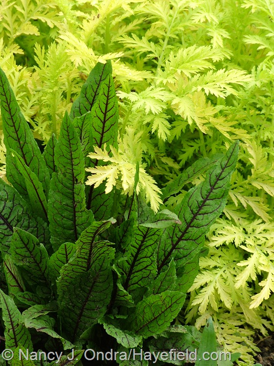 Bloody dock (Rumex sanguineus) with 'Isla Gold' tansy (Tanacetum vulgare) at Hayefield.com
