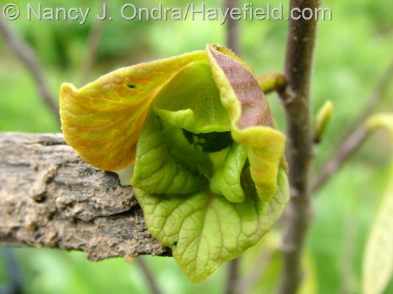 Asimina triloba flower at Hayefield.com