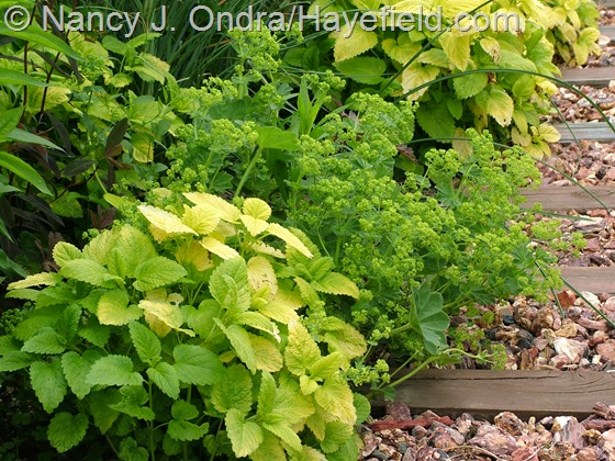Melissa officinalis 'All Gold' with Alchemilla mollis at Hayefield.com