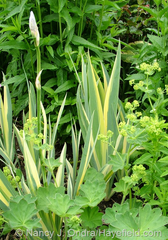 Iris pallida 'Variegata' at Hayefield.com