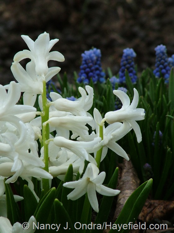 Hyacinthus 'White Festival' with Muscari at Hayefield.com