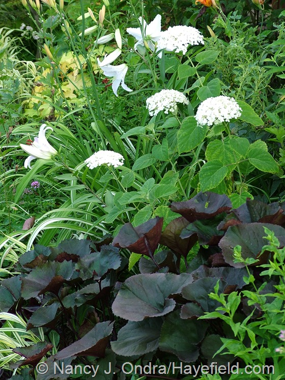 Hydrangea arborescens and Lilium 'Casa Blanca' with Ligularia dentata 'Britt-Marie Crawford' at Hayefield.com