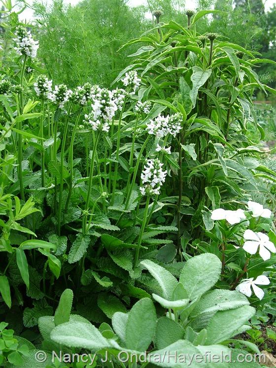 Stachys officinalis 'Alba' and Catharanthus roseus 'Cora White', Salvia officinalis 'Berggarten', and Echinacea purpurea 'Prairie Frost' at Hayefield.com