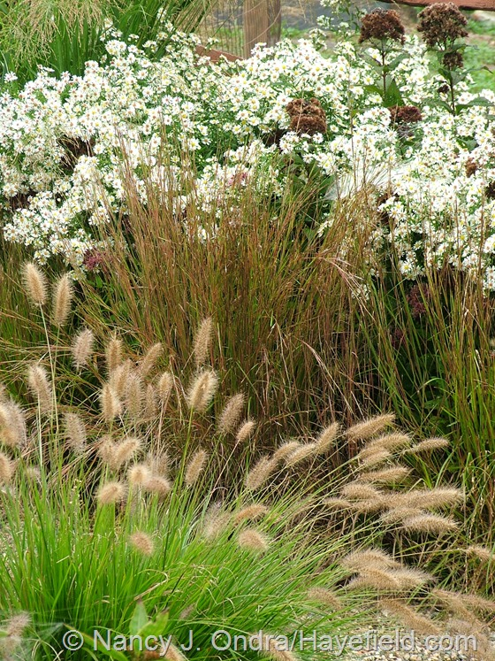 Symphyotrichum with Eutrochium dubium 'Little Joe', Schizachyrium scoparium, and Pennisetum alopecuroides 'Cassian' at Hayefield.com