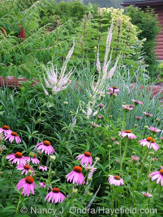 Veronicastrum virginicum with Echinacea purpurea and Panicum virgatum 'Heavy Metal' at Hayefield.com