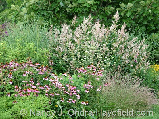 Persicaria polymorpha and Daucus carota with Schzichyrium scoparium, Echinacea purpurea, and Panicum virgatum 'Cloud Nine' at Hayefield.com