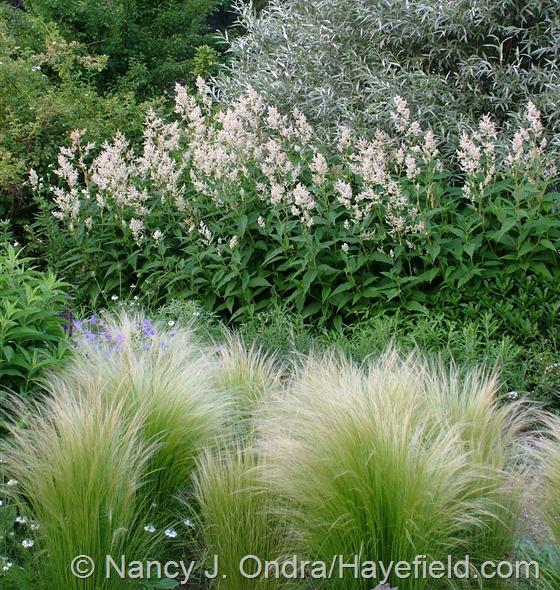 Persicaria polymorpha with Stipa tenusissima and Salix alba var. sericea at Hayefield.com