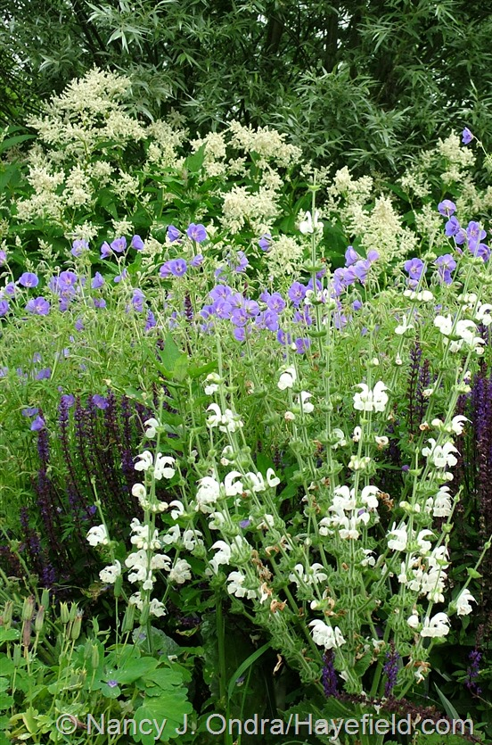 Salvia argentea with Salvia 'Caradonna', Geranium 'Brookside', and Persicaria polymorpha at Hayefield.com