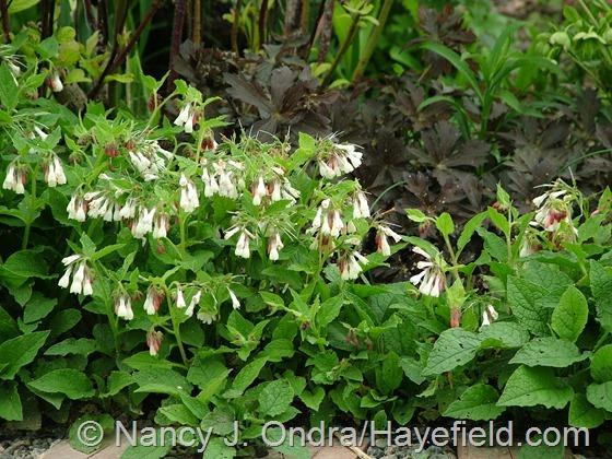 Symphytum grandiflorum with Geranium maculatum 'Espresso' at Hayefield.com