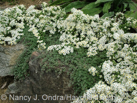 Symphyotrichum ericoides 'Snow Flurry' with Thymus pseudolanuginosus at Hayefield.com