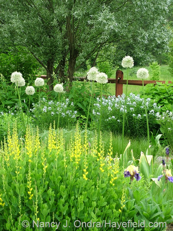 Allium 'Mount Everest' with Baptisia sphaerocarpa 'Screamin' Yellow' and Amsonia at Hayefield.com