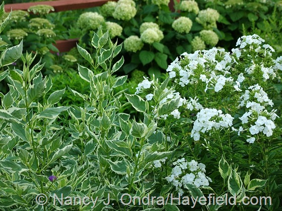 Cornus sericea 'Silver and Gold' with Phlox 'David' and Hydrangea arborescens at Hayefield.com