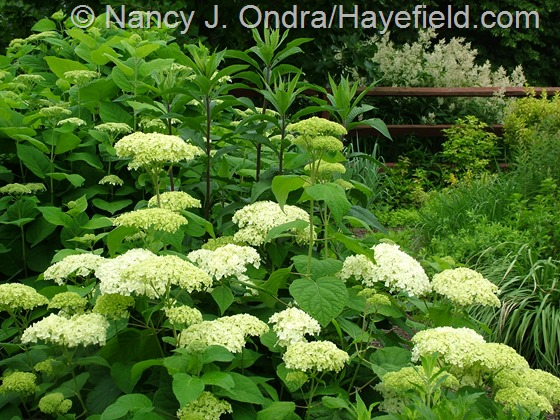 Hydrangea arborescens, Vernonia, and Persicaria polymorpha at Hayefield.com