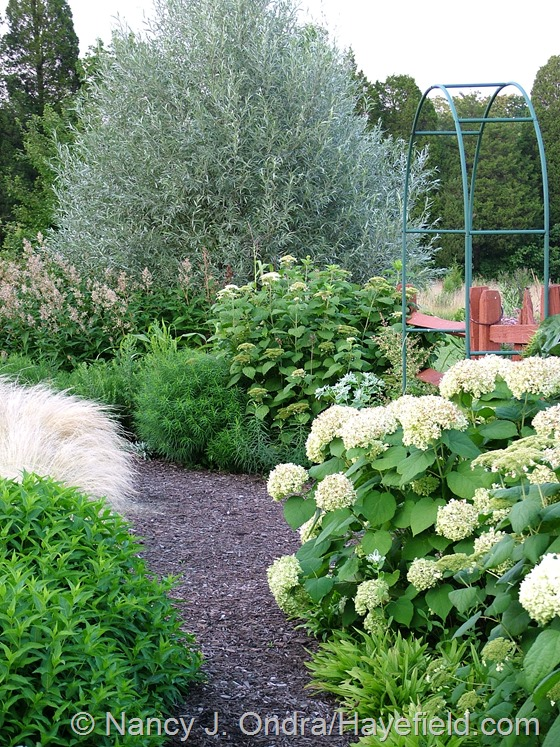 Hydrangea arborescens with Stipa tenuissima, Persicaria polymorpha, and Salix alba var. sericea at Hayefield.com