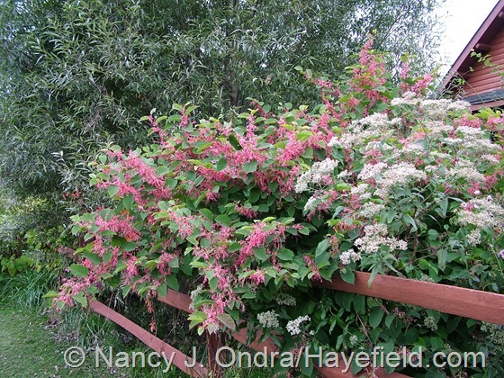 Eupatorium altissimum 'Jocius' Variegate' with Persicaria 'Crimson Beauty' against Salix alba var. sericea at Hayefield.com