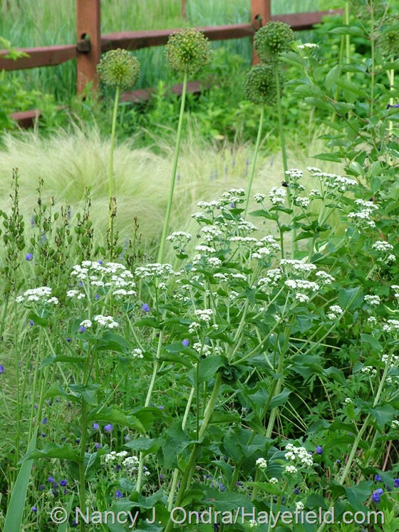 Parthenium integrifolium with Stipa tenuissima and Camassia and Allium 'Mount Everest' seedheads at Hayefield.com