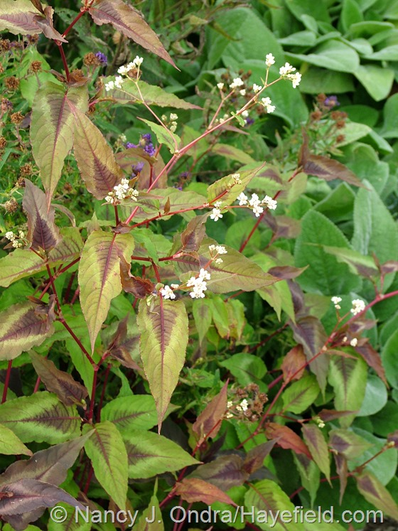 Persicaria microcephala 'Red Dragon' at Hayefield.com