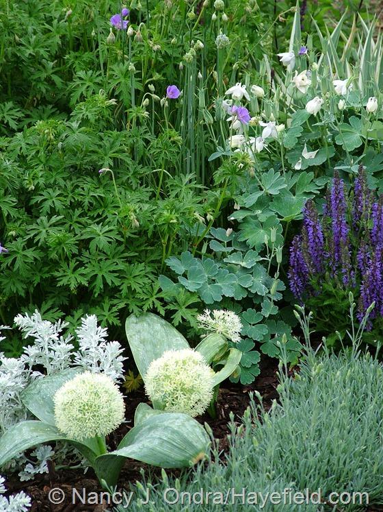 Allium karataviense 'Ivory Queen' and Aquilegia flabellata var. pumila 'Alba', Dianthus, Artemisia 'Silver Brocade', Geranium 'Brookside', and Salvia 'Marcus' at Hayefield.com