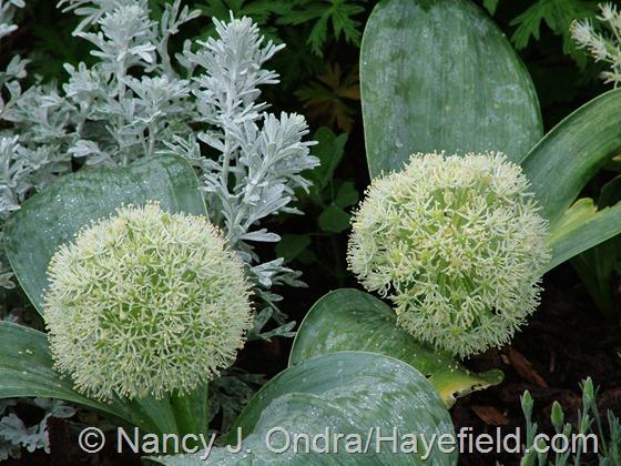 Allium karataviense with Artemisia 'Silver Brocade' at Hayefield.com
