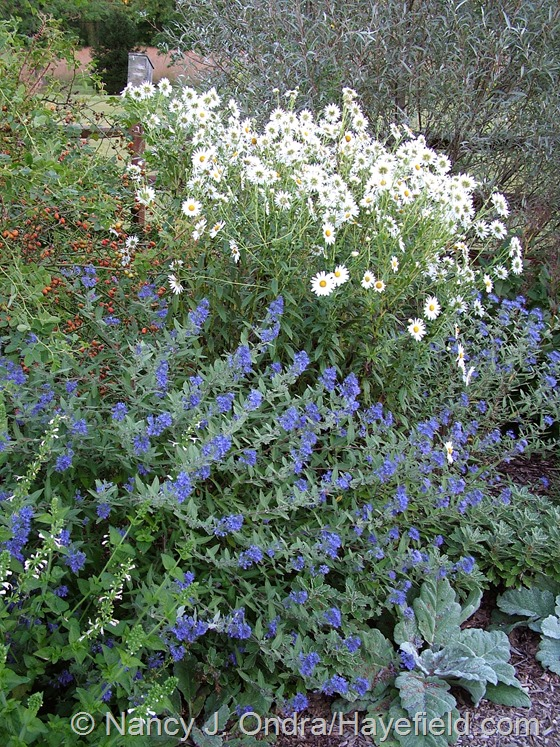 Leucanthemella serotina with Rosa eglanteria, Caryopteris x clandonensis, and Salvia argentea against Salix alba var. sericea at Hayefield.com