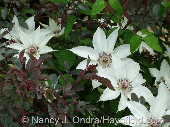 Clematis seedling with Rosa glauca at Hayefield.com