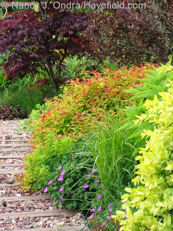 Acer palmatum, Weigela florida 'Alexandra' [Wine and Roses], Spiraea 'Walbuma' [Magic Carpet], Euphorbia 'Golden Foam', Geranium sanguineum 'New Hampshire Purple', Carex muskingumensis 'Oehme', and Buxus sempervirens 'Latifolia Maculata' at Hayefield.com