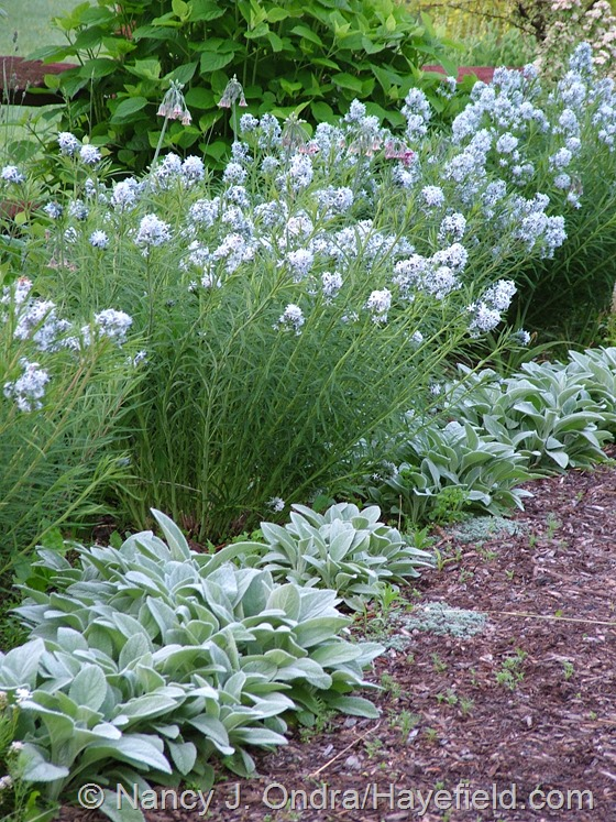 Amsonia hybrida with Stachys byzantina 'Big Ears' at Hayefield.com