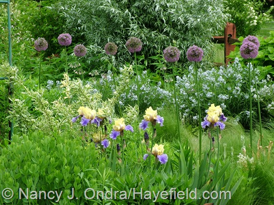 Allium 'Gladiator' and Iris 'Edith Wolford' at Hayefield.com