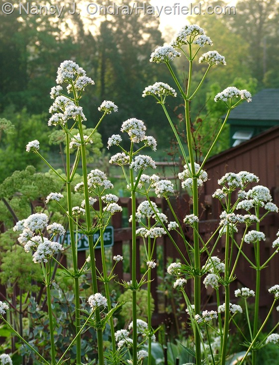 Valeriana officinalis at Hayefield.com