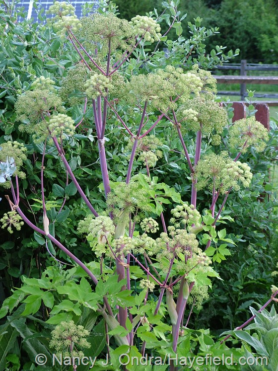 Angelica archangelica at Hayefield.com