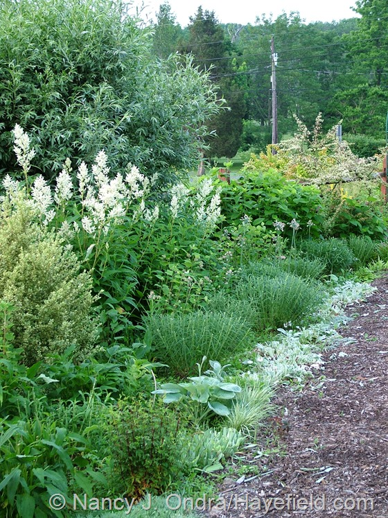 Amsonia and Stachys byzantina 'Big Ears' cut back in early June at Hayefield.com