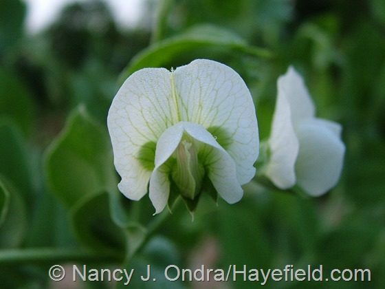 Snow pea 'Mammoth Melting Sugar' at Hayefield.com