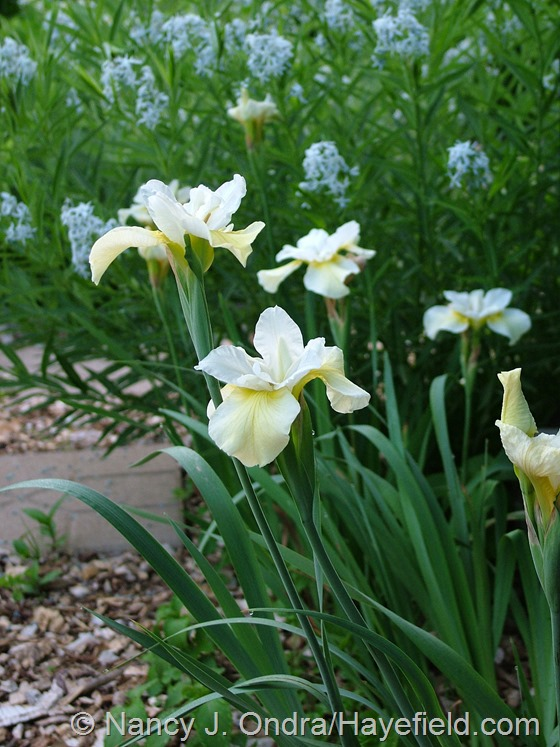 Iris sibirica 'Butter and Sugar' at Hayefield.com