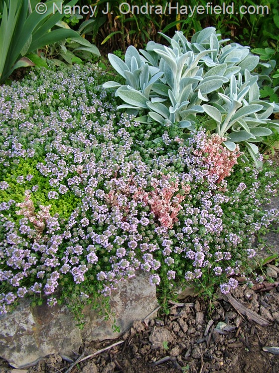 Stachys byzantina with Thymus serpyllum, Sedum hispanicum var. minus, and Sedum acre at Hayefield.com