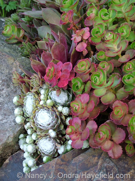 Sedum spurium 'Elizabeth' and Sempervivum at Hayefield.com
