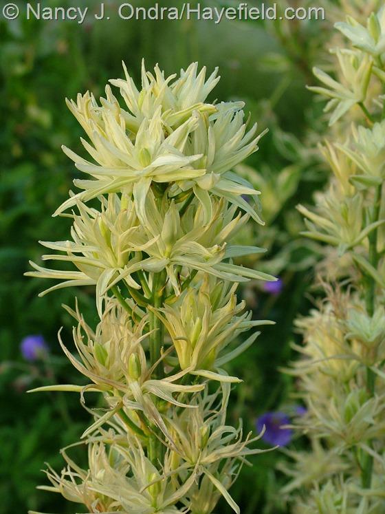 Camassia leichtlinii 'Semiplena' at Hayefield.com