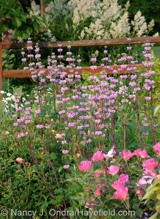 Phlomis tuberosa and Rosa 'Radcon' [Pink Knock Out] at Hayefield.com