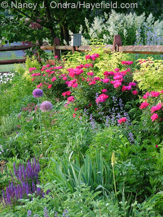 Front garden with Rosa 'Radrazz' [Knock Out], Allium, Salvia 'East Friesland', Nepeta 'Walker's Low', Viburnum opulus 'Aureum', and Persicaria polymorpha at Hayefield.com