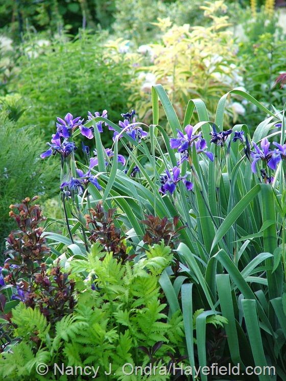 Iris x robusta 'Gerald Darby' at Hayefield.com