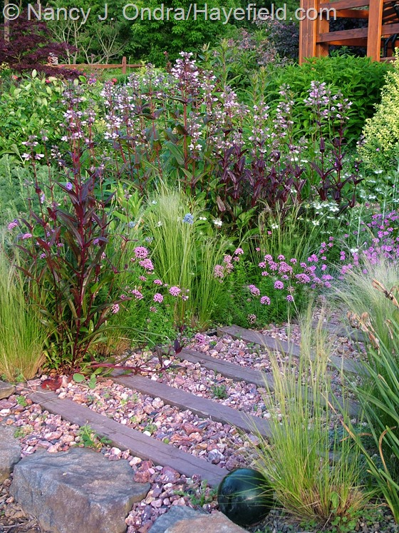 Penstemon 'Dark Towers', Phuopsis stylosa, and Stipa tenuissima at Hayefield.com