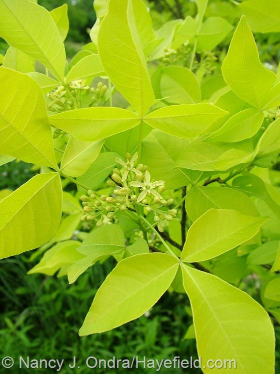 Ptelea trifoliata 'Aurea' at Hayefield.com