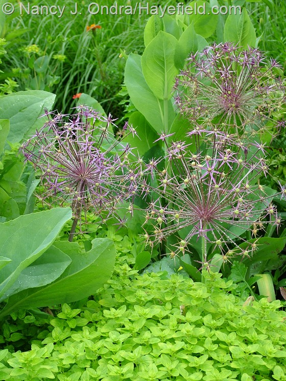 Allium christophii with Origanum vulgare 'Aureum' and Rudbeckia maxima at Hayefield.com