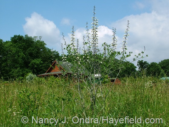 Baptisia alba in meadow at Hayefield.com