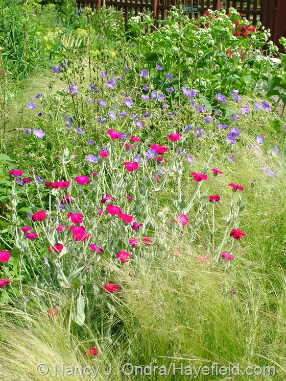 Lychnis coronaria with Geranium 'Brookside' and Stipa tenuissima at Hayefield.com