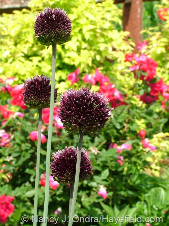 Allium 'Forelock' at Hayefield.com