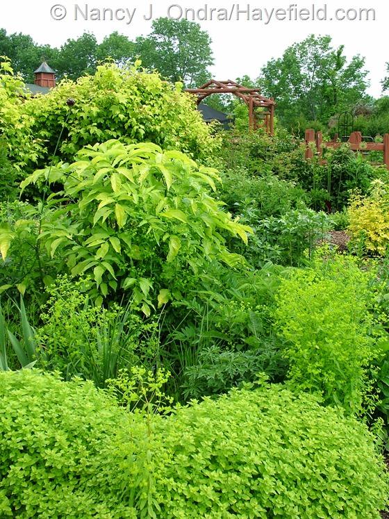 Origanum vulgare 'Aureum', Euphorbia 'Golden Foam', Sambucus nigra 'Aurea', and Viburnum opulus 'Aureum' at Hayefield.com