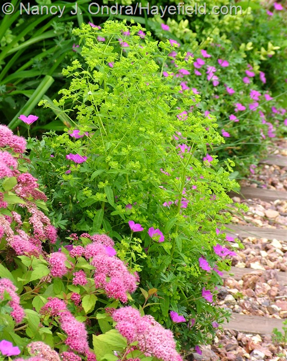 Euphorbia 'Golden Foam' with Spiraea 'Walbuma' [Magic Carpet] and Geranium sanguineum 'New Hampshire Purple' at Hayefield.com
