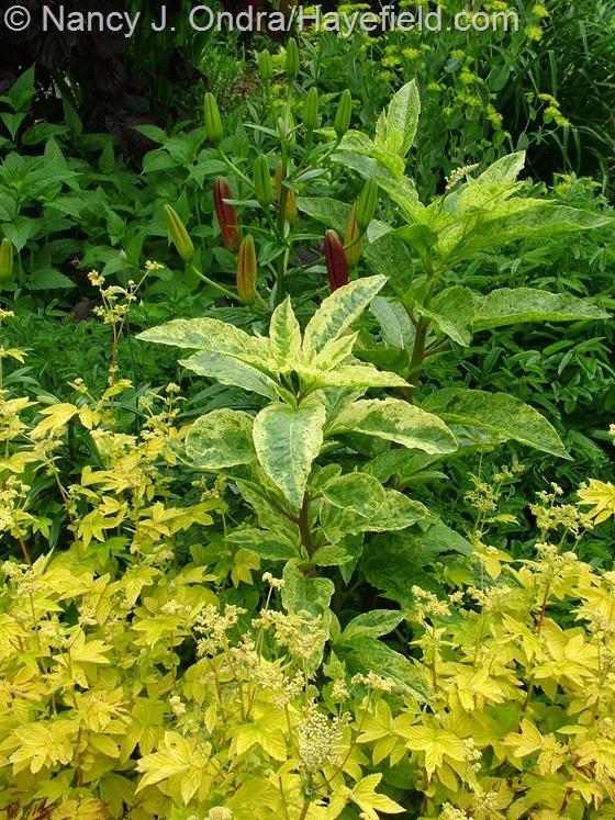 Phytolacca americana 'Silberstein' with Filipendula ulmaria 'Aurea' at Hayefield.com